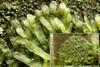 Almindelig Gaffelløv (Metzgeria furcata)