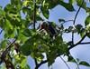 Kaltenbachiella pallida (Kaltenbachiella pallida)
