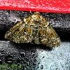 Lille Lavmåler (Cleorodes lichenaria)