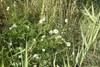 Strand-Kamille (Tripleurospermum maritimum)