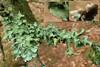 Trådet Skållav (Parmotrema perlatum)