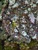 Rødbrun Tensporelav (Bacidia rubella)
