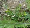 Liguster-Gedeblad (Lonicera pileata)