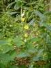 Tornet Salat (Lactuca serriola)