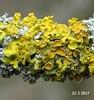 Foto/billede af Teloschistaceae - Teloschistaceae
