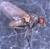 Plantageflue (Hydrotaea irritans)