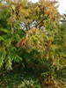 Hjortetaktræ (Rhus typhina)