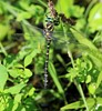 Foto/billede af Kongeguldsmed - Cordulegasteridae