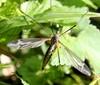 Tipula vittata (Tipula vittata)