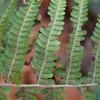 Almindelig Mangeløv (Dryopteris filix-mas)