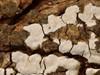 Ene-Lædersvamp (Amylostereum laevigatum)