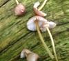 Foto/billede af Mycenaceae - Mycenaceae