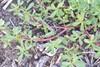 Portulak (Portulaca oleracea)