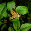 Okkergul Blåbærmåler (Macaria brunneata)