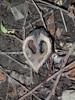 Japansk valnød (Juglans ailanthifolia)