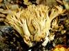 Bleg Koralsvamp (Ramaria pallida)