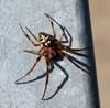 Larinioides sp. (Larinioides sp.)