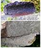 Blød Begporesvamp (Datronia mollis)