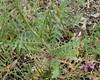 Ungarsk Vejsennep (Sisymbrium altissimum)