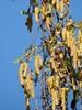 Vorte-Birk (Betula pendula)
