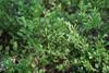Blåbær (Vaccinium myrtillus)