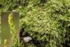 Skinnende Ynglegren (Pseudotaxiphyllum elegans)