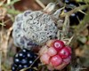 Gråskimmel-knoldskive (Botryotinia fuckeliana)