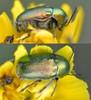 Silkeglinsende Faldbille (Cryptocephalus sericeus)