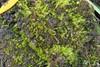 Stor Sporemos (Archidium alternifolium)