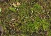 Foto/billede af Cephaloziellaceae - Cephaloziellaceae