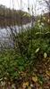Storbladet Benved (Euonymus latifolius)