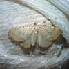 Lille Vrietornmåler (Philereme vetulata)