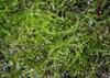 Foto/billede af Cephaloziaceae - Cephaloziaceae