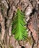 Foto/billede af Taxodiaceae - Taxodiaceae