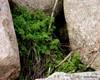 Gul Lærkespore (Pseudofumaria lutea)