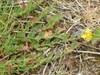 Dværg-Perikon (Hypericum humifusum)