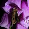Agerugle (Agrotis segetum)