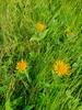 Pile-Alant (Inula salicina)