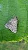 Brachylomia viminalis (Brachylomia viminalis)