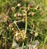 Butblomstret Siv (Juncus subnodulosus)