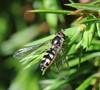 Trapez-Svirreflue (Meliscaeva auricollis)