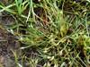 Klæg-Siv (Juncus ranarius)