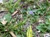 Gilia achilleaefolia (Gilia achilleaefolia)