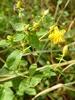 Kantet Perikon (Hypericum maculatum)
