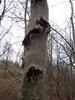Askekræft (Pseudomonas savastanoi pv. fraxini)