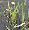 Langbladet Ranunkel (Ranunculus lingua)