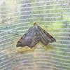 Fyrre-Skovmåler (Macaria liturata)