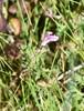 Eng-Troldurt (Pedicularis palustris ssp. palustris)