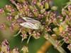 Sortplettet Tæge (Adelphocoris quadripunctatus)