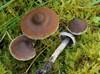Cortinarius flexipes var. flabellus (Cortinarius flexipes var. flabellus)